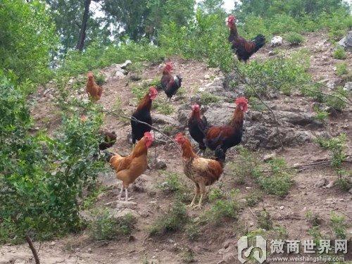 北京在哪买有机柴鸡蛋?好吃价格便宜?