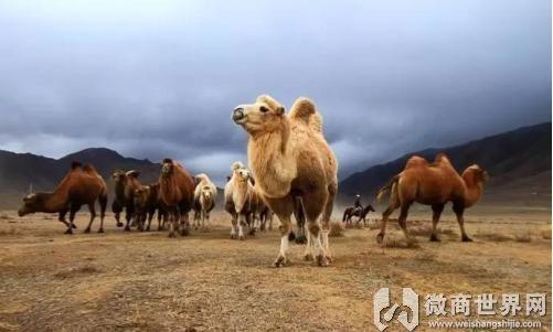 新疆纯正骆驼奶粉 天源奶源 工厂货源 品质保证